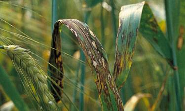 Rhynchosporium infected barley crop